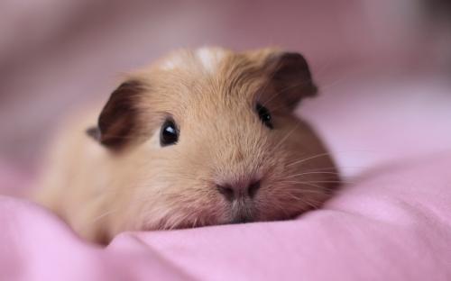 8850638-guinea-pig-hd